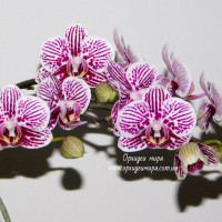 Phal. Taida Kings Caroline  Taida Little Zebra