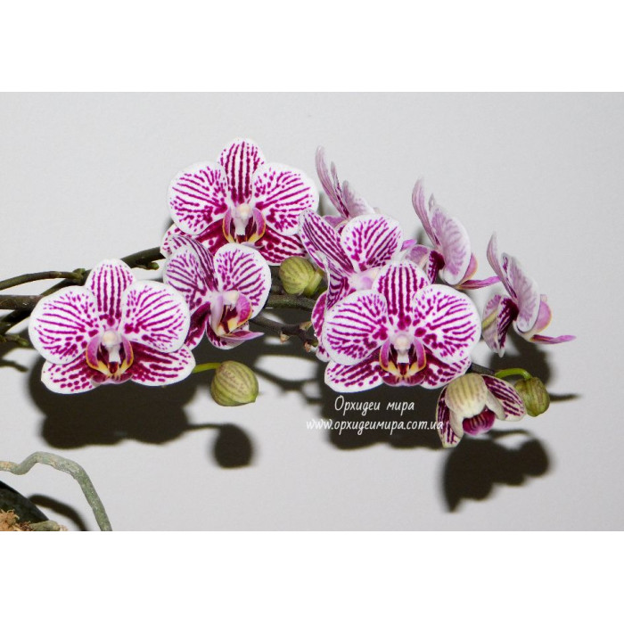 Phal. Taida Kings Caroline Taida Little Zebra 1,7
