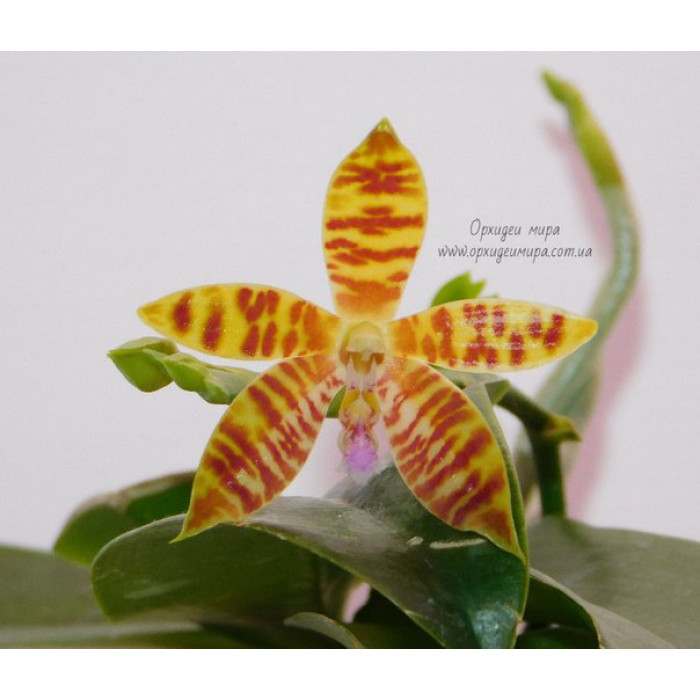 Phal. Tetrasambo x (Amboinensis x Cornu-cervi)