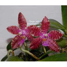 Phal. Tetraspis × Lueddemanniana