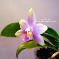 Phalaenopsis Thying Shin Fly Eagle x violacea Indigo