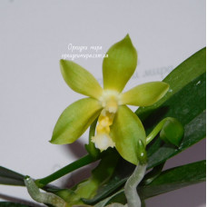 Phal. Tsays Evergreen