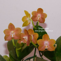 Phal. Tying Shin Coffee Candy