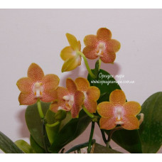 Phal. Tying Shin Coffeecandy