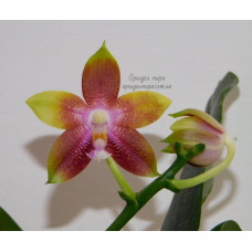 Phal. Tying Shin Fly Eagle