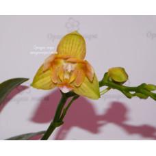Phal. Tzu Chiang Balm x Yaphon Perfume 3 lips