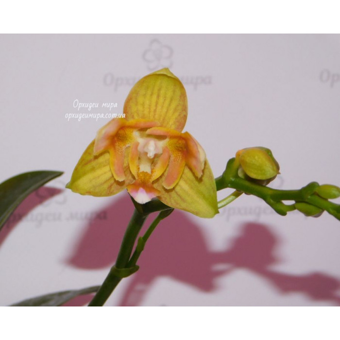 Phal. Tzu Chiang Balm x Yaphon Perfume 3 lips уценка
