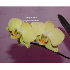 Phal. Unimax Moonlight