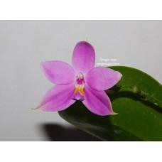 Phal. Violacea Alba-blue x Tetraspis Alba