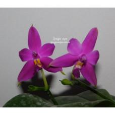 Phal. Violacea Blue Indigo x sib 1,7