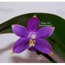 Phal. Violacea Indigo x Jennifer Palermo C1 уценка