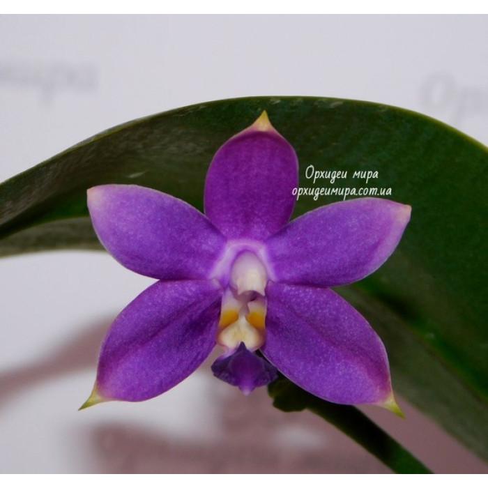 Фаленопсис (Violacea Indigo x Jennifer Palermo C1 уценка)