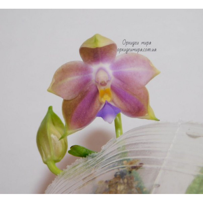 Phal. Violacea Indigo x Jennifer Palermo C1