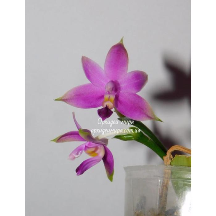 Фаленопсис (Violacea Sumatrana x sib)