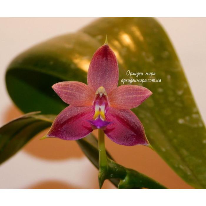 Фаленопсис (Violacea var)