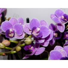 Phal. Violet Queen