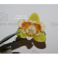 Phal. Yaphon Anmino Yellow bat ES AN-6605 бабочка