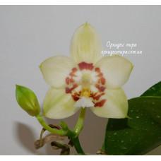 Phal. Yaphon Gelacea
