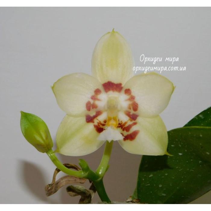Фаленопсис (Yaphon Gelacea)