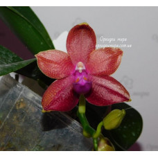 Phal. Yaphon Golden Dragon №6