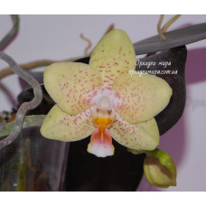 Phal. Yaphon Golden Dragon №1