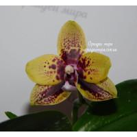 Phal. Yaphon Golden Dragon №5
