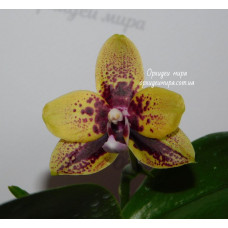 Phal. Yaphon Golden Dragon №5