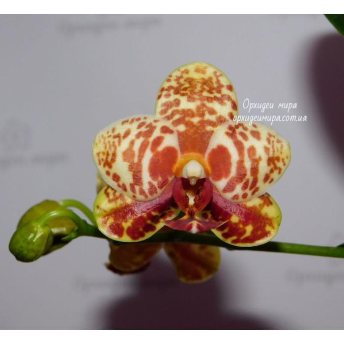 Phal. Yaphon Lobispis x Yaphon Goldrose
