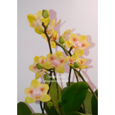 Phal. Yaphon Green Batman бабочка 3,5