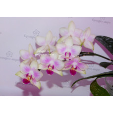 Phal. Yaphon Little Rainbow Yaphon