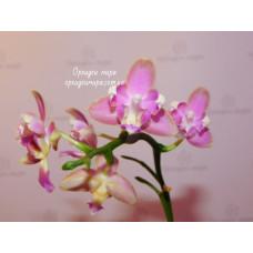 Phal. Yaphon Pink Bee бабочка