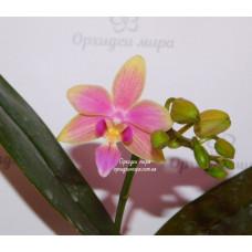 Phal. Yaphon Pink Bee
