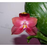 Phal. Yaphon Red Jewel x Lds Bear King
