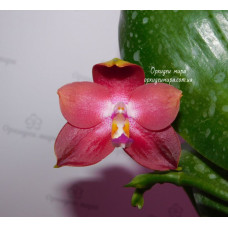 Phal. Yaphon Red Jewel x Lds Bear King