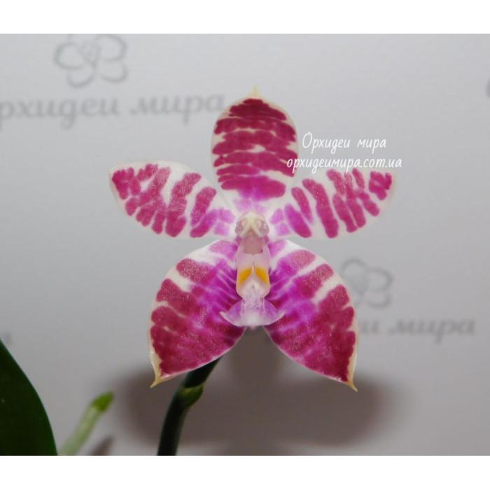 Фаленопсис (Yaphon Sensation x Corningiana №1)