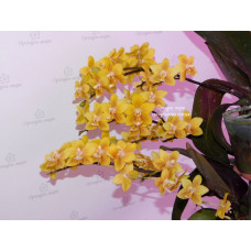 Phal. Yellow Chocolate 1,7