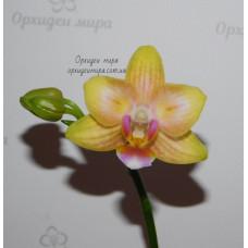 Phal. Yellow hybrid бабочка