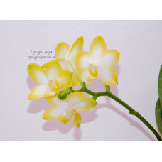 Phal. Yuan Shan Sweet Girl 1,7