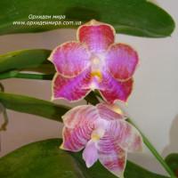 Phalaenopsis Yungho Gelb Canary x lueddemanniana Woodlawn