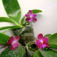 Phalaenopsis Zheng Min Etching