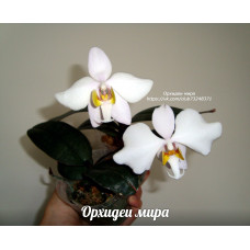 Phal. Philippinensis x sib 2,5