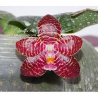 Phal. Red Jaguar 2,5
