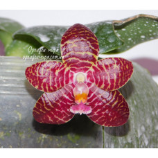 Phal. Red Jaguar 3,5