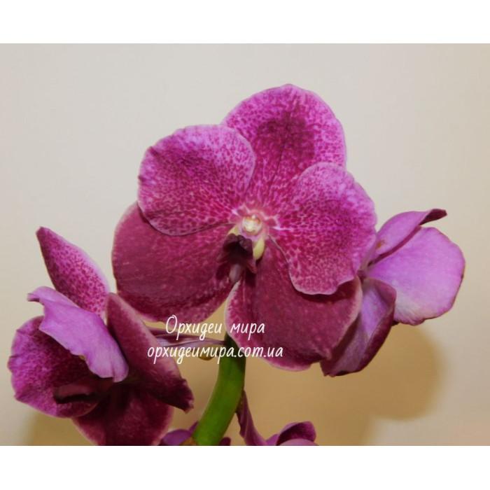 Ванда (Patchara Delight hybrid)
