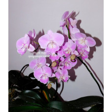 Phal. Yu Pin fireworks Pink Kiss 177 big lip уценка
