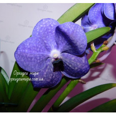 Vanda blue