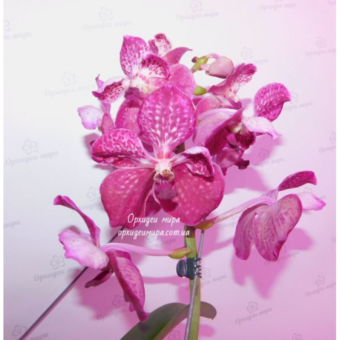 Ванда (Vanda pink peloric)