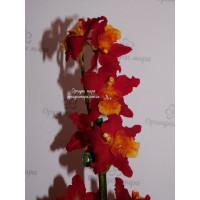 Wils. Dianne Feinstein Red Ruby