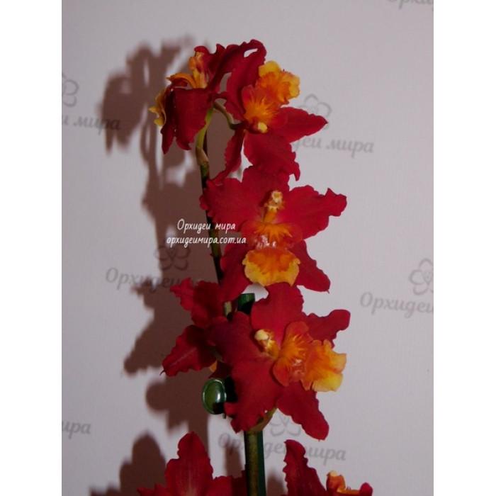 Онцидиум (Dianne Feinstein Red Ruby)