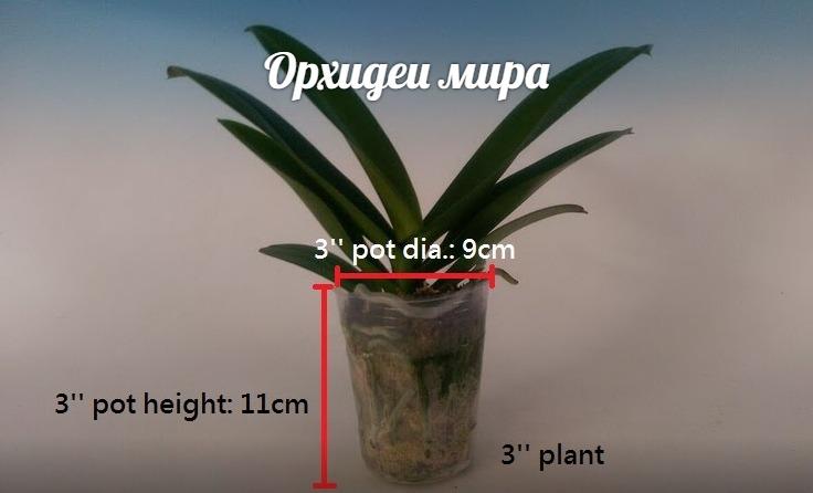 Фаленопсис размера 3